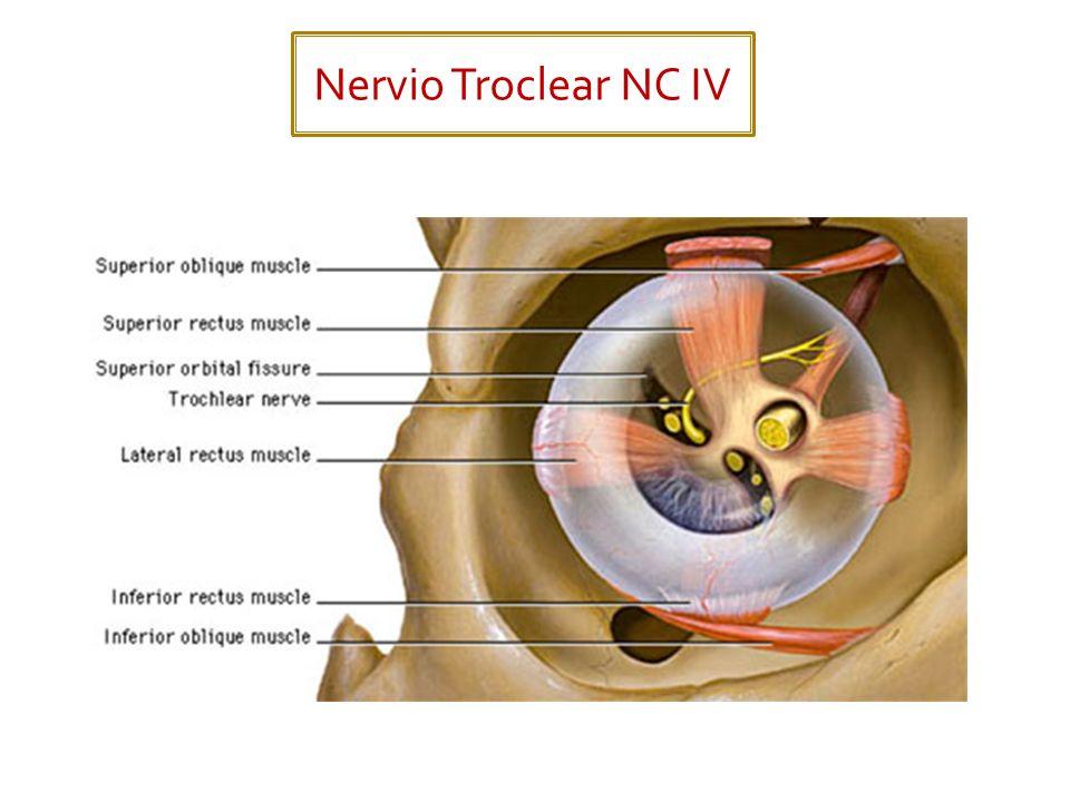 Nervio Troclear NC IV