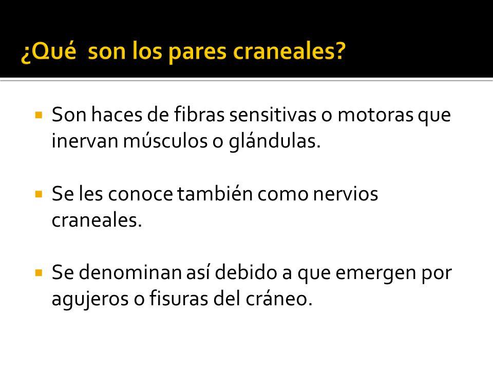 ¿Qué son los pares craneales