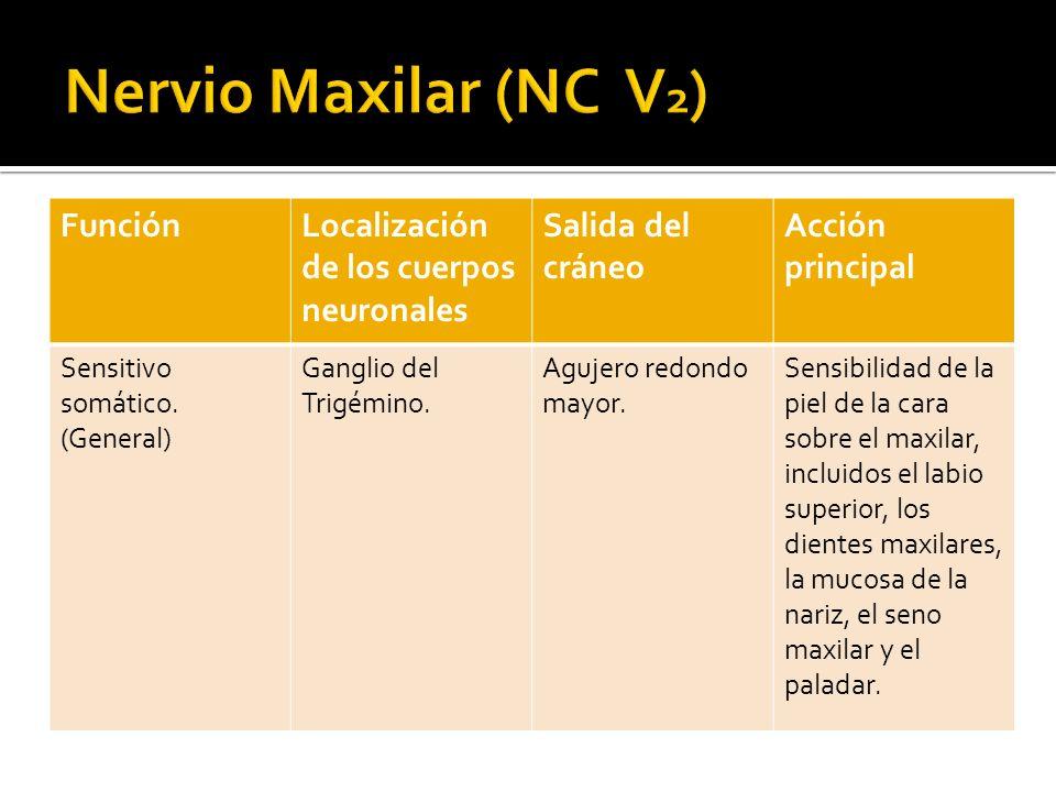 Nervio Maxilar (NC V2) Función Localización de los cuerpos neuronales