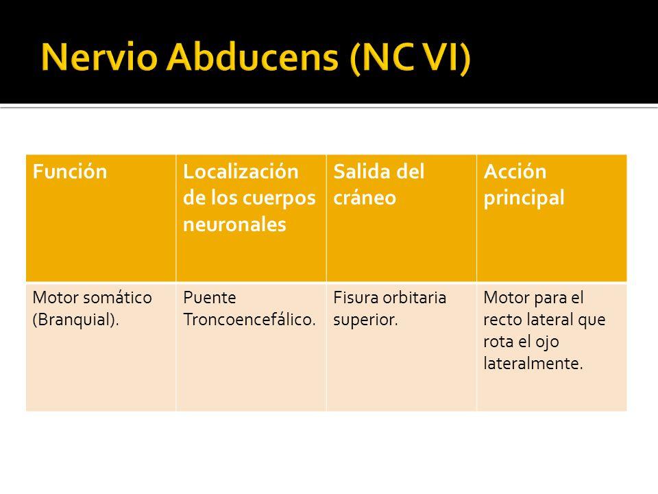 Nervio Abducens (NC VI)