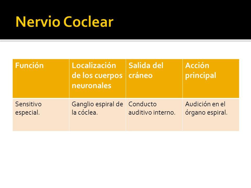 Nervio Coclear Función Localización de los cuerpos neuronales