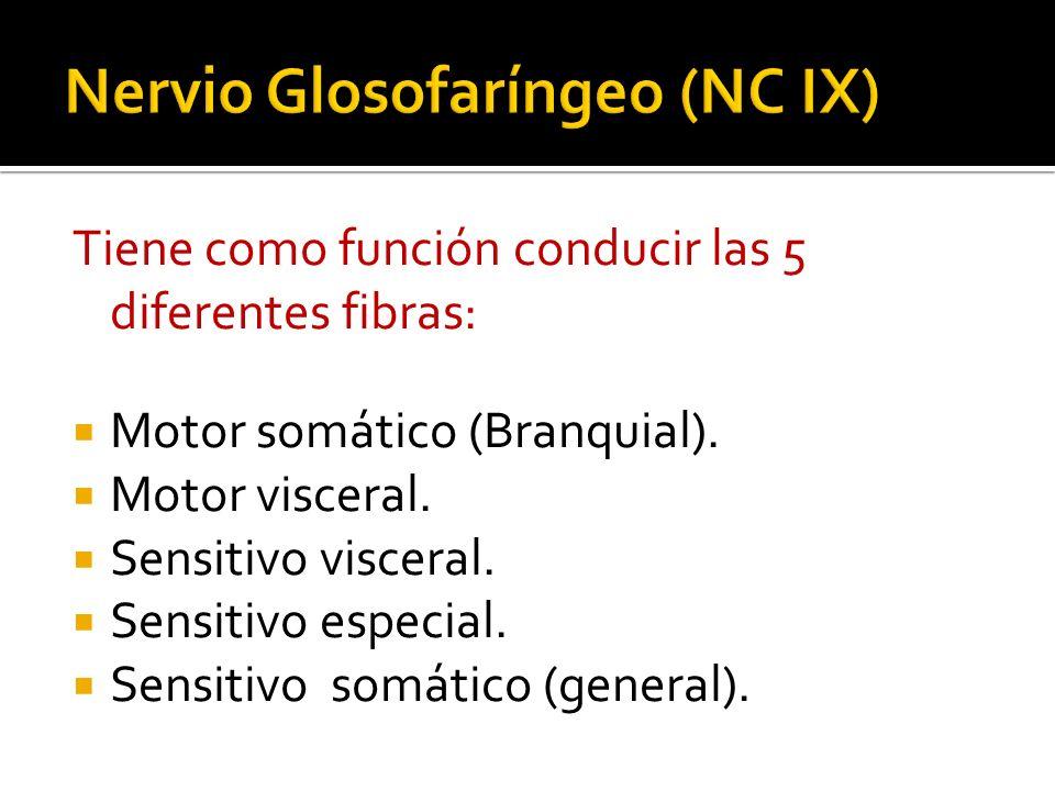 Nervio Glosofaríngeo (NC IX)