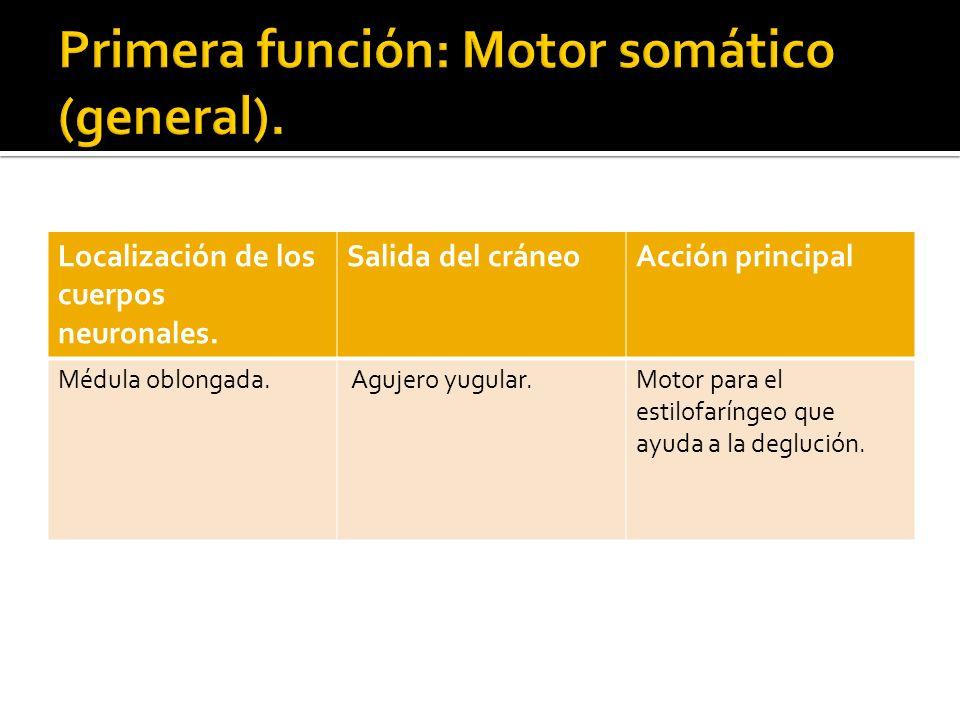 Primera función: Motor somático (general).