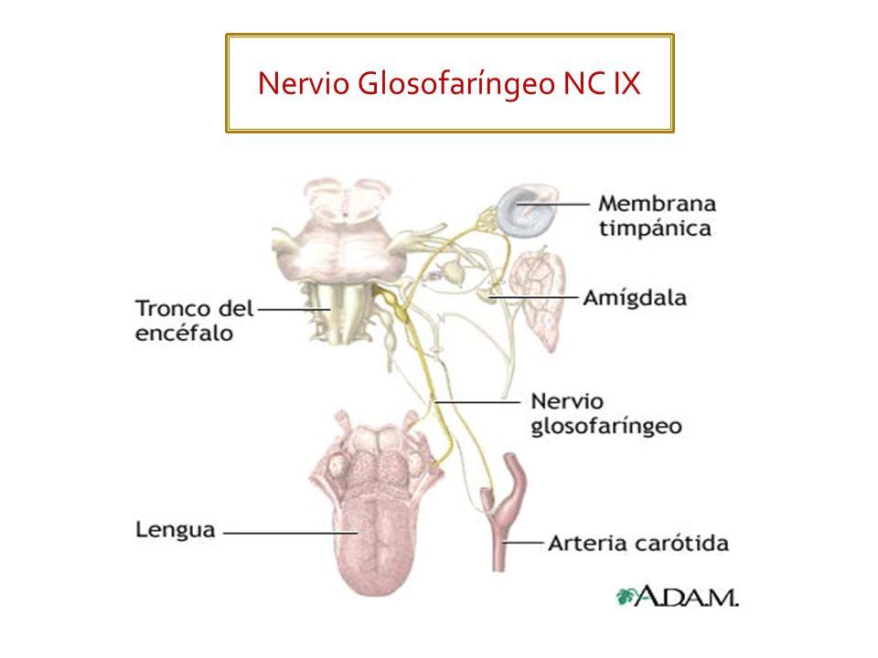 Nervio Glosofaríngeo NC IX