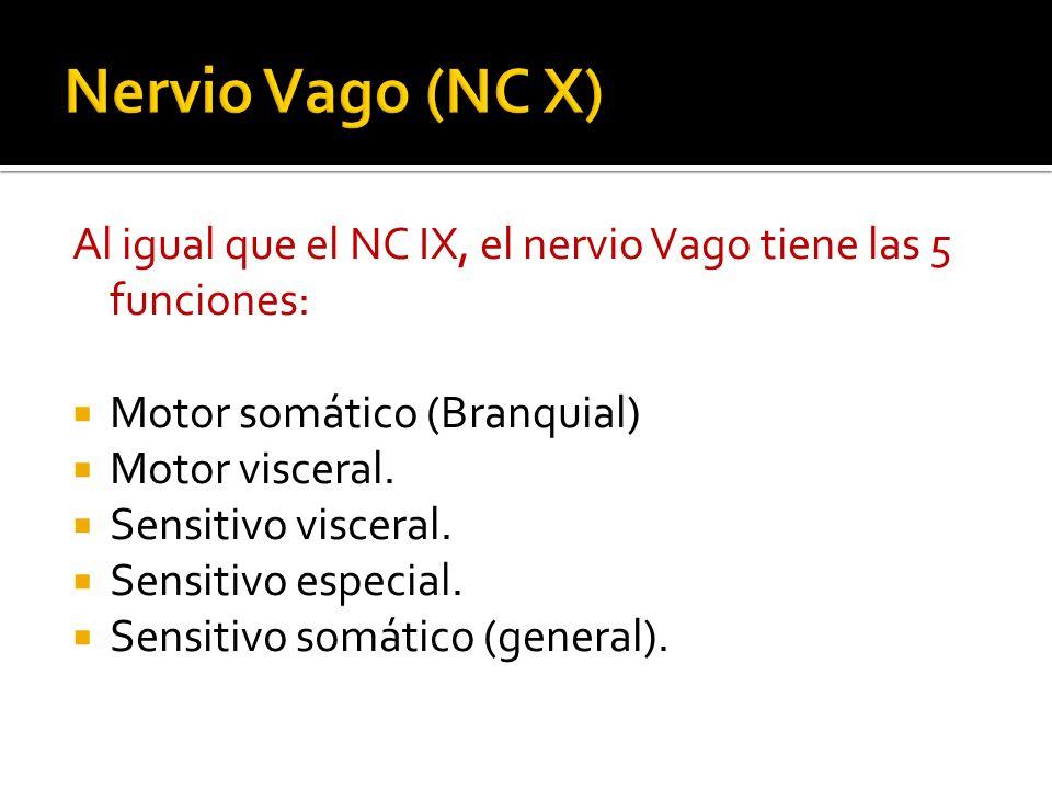 Nervio Vago (NC X) Al igual que el NC IX, el nervio Vago tiene las 5 funciones: Motor somático (Branquial)