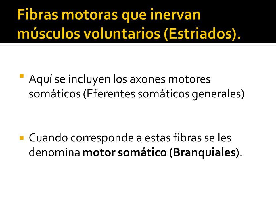Fibras motoras que inervan músculos voluntarios (Estriados).