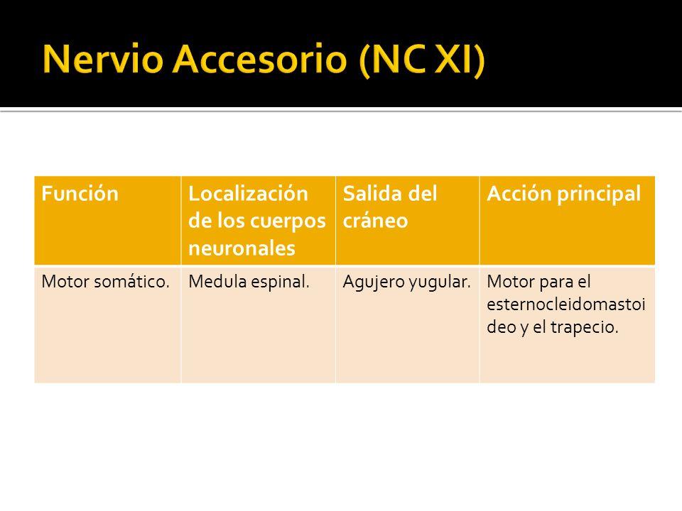 Nervio Accesorio (NC XI)