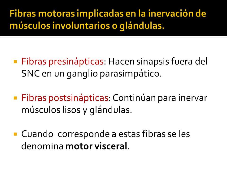 Fibras motoras implicadas en la inervación de músculos involuntarios o glándulas.