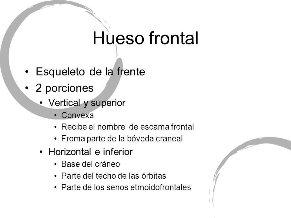 Hueso frontal Esqueleto de la frente 2 porciones Vertical y superior