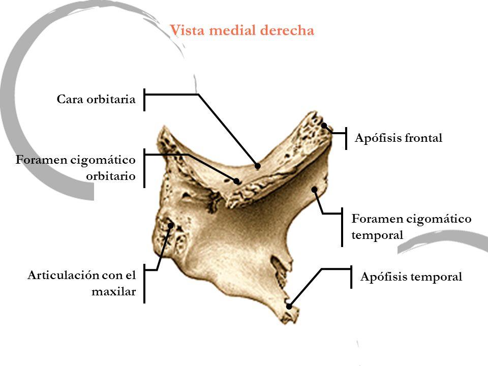Vista medial derecha Cara orbitaria Apófisis frontal