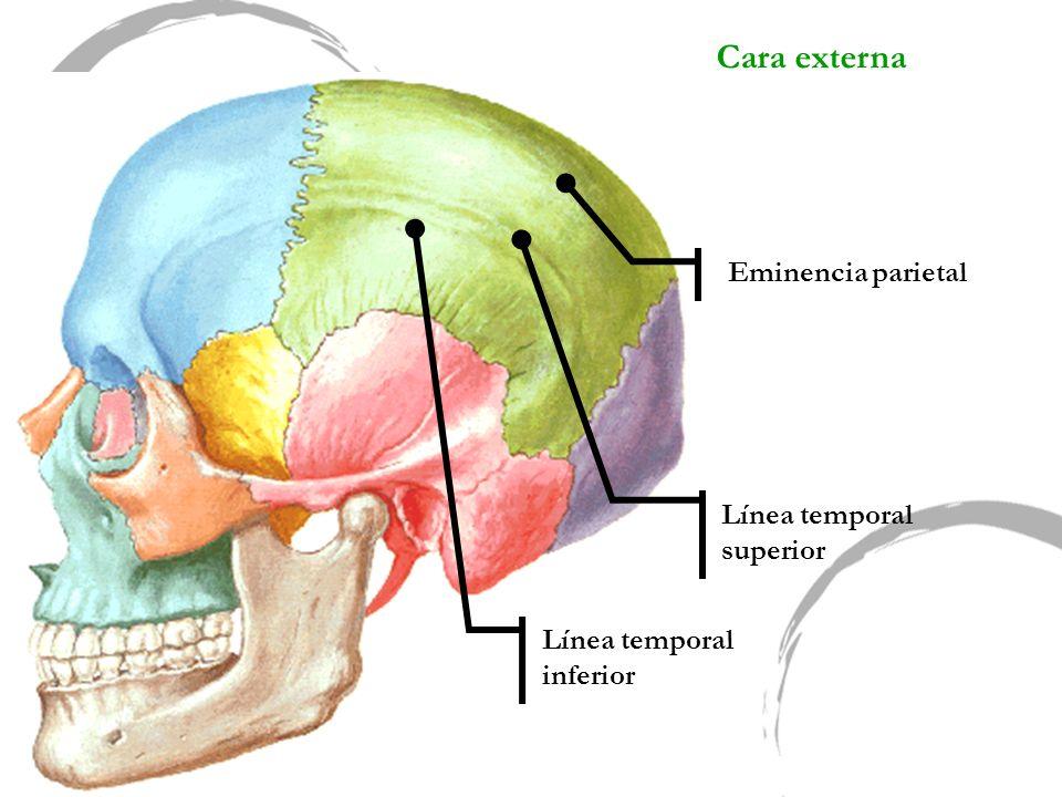 Cara externa Eminencia parietal Línea temporal superior