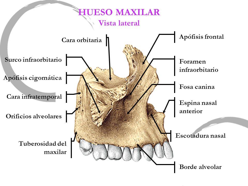 HUESO MAXILAR Vista lateral Apófisis frontal Cara orbitaria
