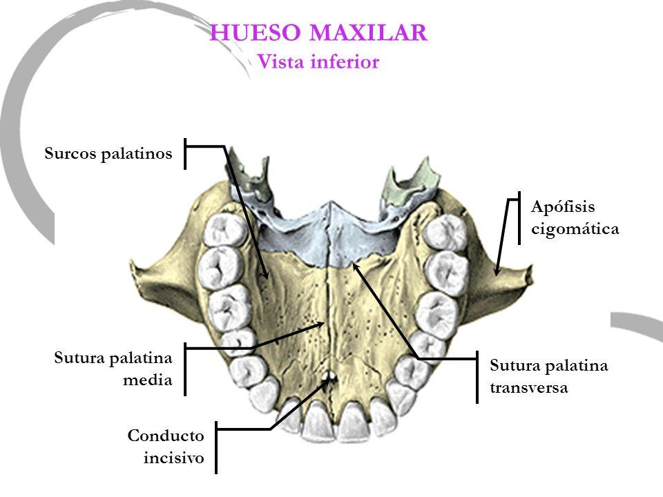 HUESO MAXILAR Vista inferior Surcos palatinos Apófisis cigomática