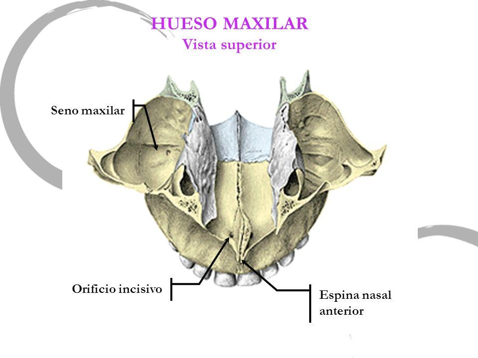 HUESO MAXILAR Vista superior Seno maxilar Orificio incisivo