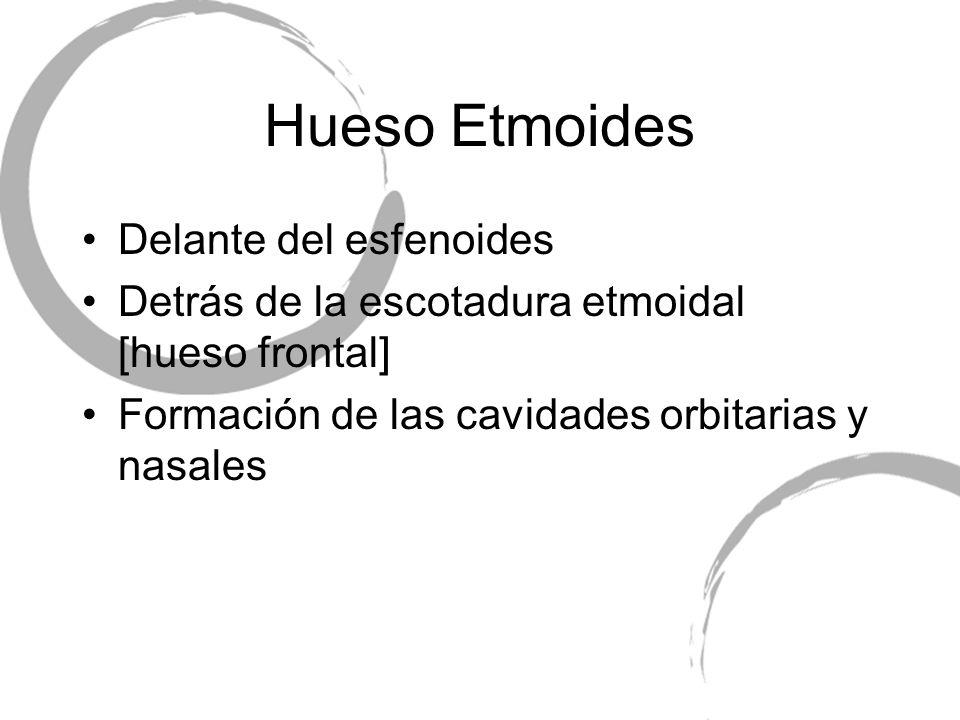 Hueso Etmoides Delante del esfenoides