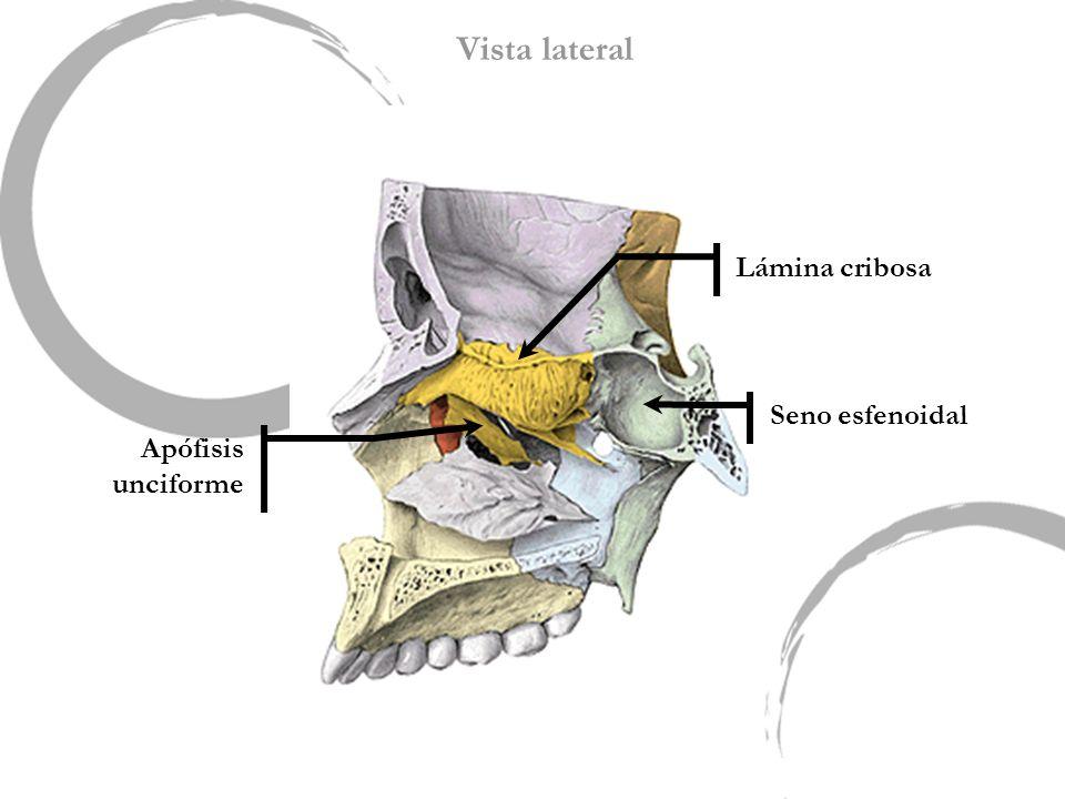 Vista lateral Lámina cribosa Seno esfenoidal Apófisis unciforme