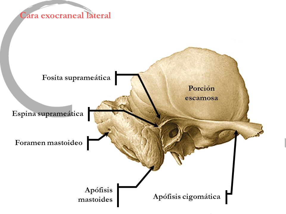 Cara exocraneal lateral