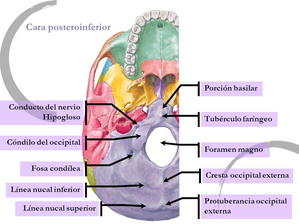 Cara posteroinferior Porción basilar Conducto del nervio Hipogloso