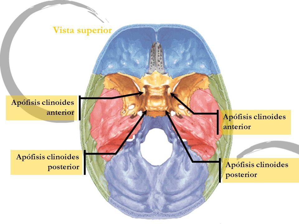 Vista superior Apófisis clinoides anterior Apófisis clinoides anterior