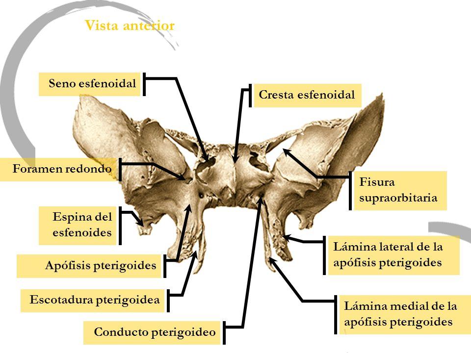 Vista anterior Seno esfenoidal Cresta esfenoidal Foramen redondo