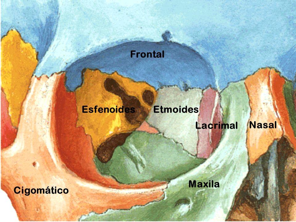 Frontal Esfenoides Etmoides Lacrimal Nasal Maxila Cigomático