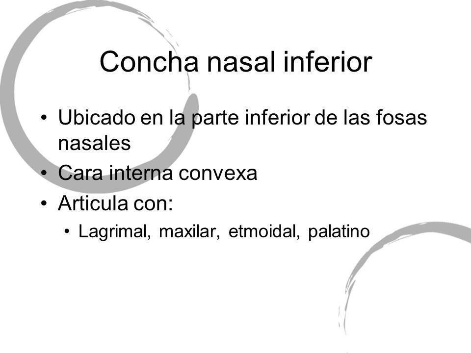 Concha nasal inferior Ubicado en la parte inferior de las fosas nasales. Cara interna convexa. Articula con: