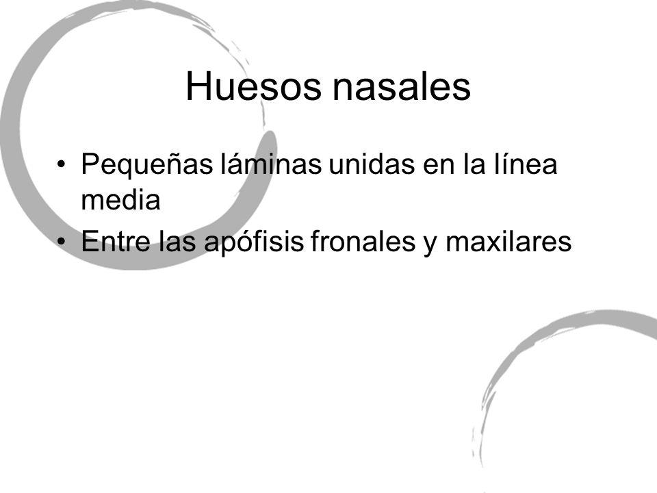Huesos nasales Pequeñas láminas unidas en la línea media