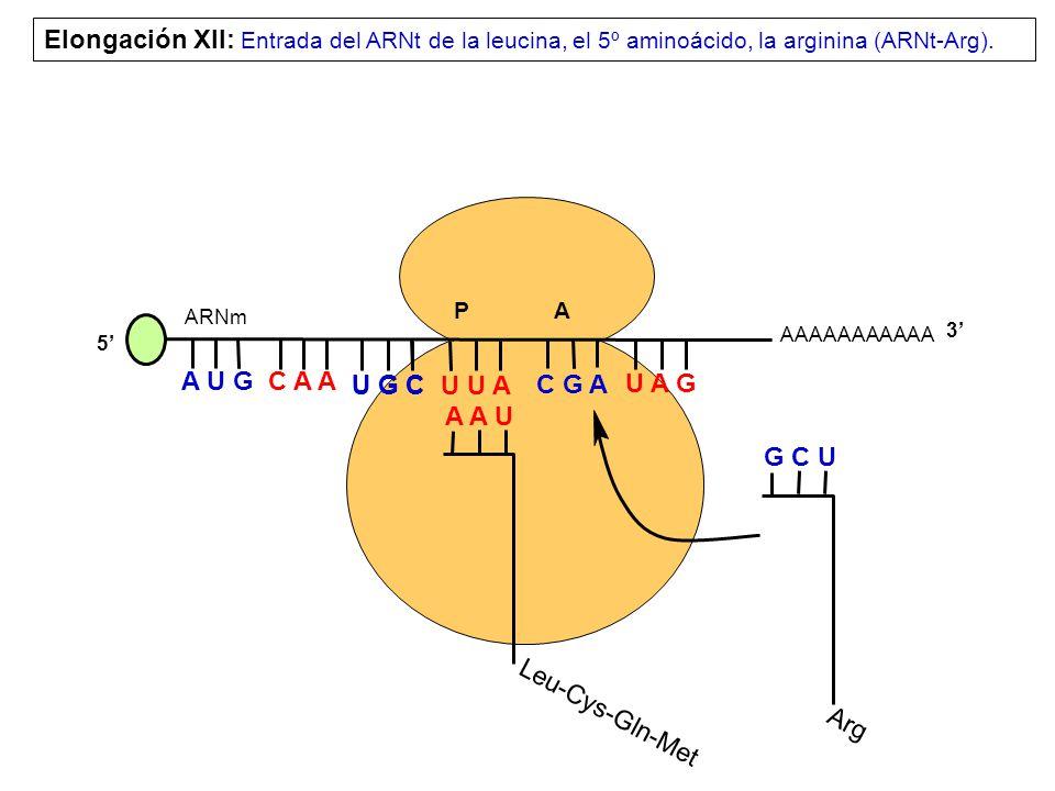 Elongación XII: Entrada del ARNt de la leucina, el 5º aminoácido, la arginina (ARNt-Arg).