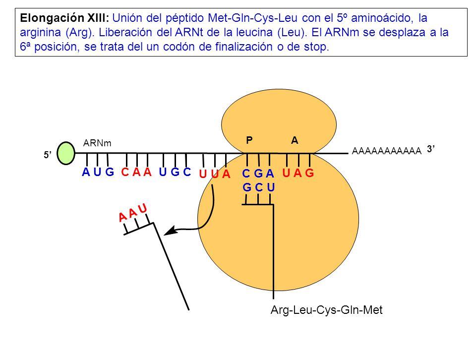 Elongación XIII: Unión del péptido Met-Gln-Cys-Leu con el 5º aminoácido, la arginina (Arg). Liberación del ARNt de la leucina (Leu). El ARNm se desplaza a la 6ª posición, se trata del un codón de finalización o de stop.