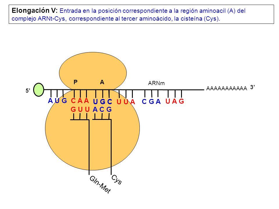 Elongación V: Entrada en la posición correspondiente a la región aminoacil (A) del complejo ARNt-Cys, correspondiente al tercer aminoácido, la cisteína (Cys).