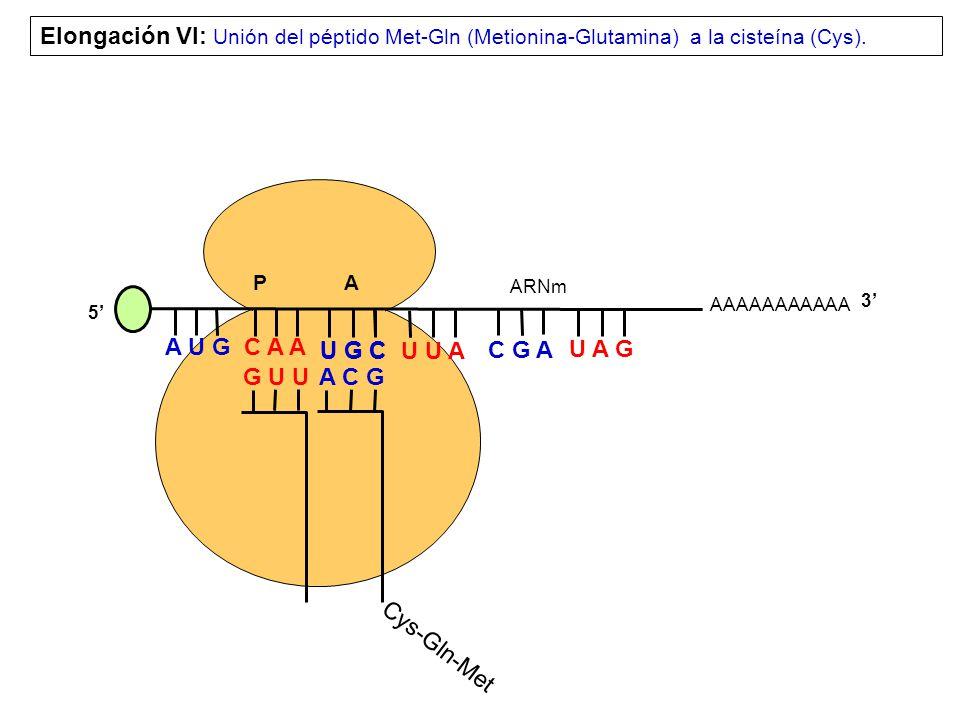 Elongación VI: Unión del péptido Met-Gln (Metionina-Glutamina) a la cisteína (Cys).