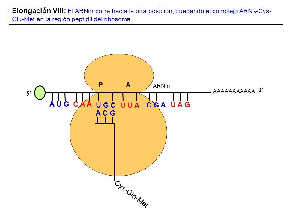 Elongación VIII: El ARNm corre hacia la otra posición, quedando el complejo ARNt3-Cys-Glu-Met en la región peptidil del ribosoma.
