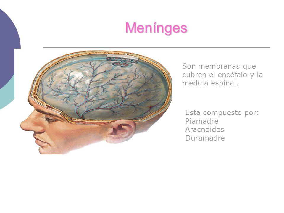 Menínges Son membranas que cubren el encéfalo y la medula espinal.