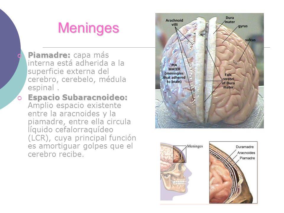 Meninges Piamadre: capa más interna está adherida a la superficie externa del cerebro, cerebelo, médula espinal .