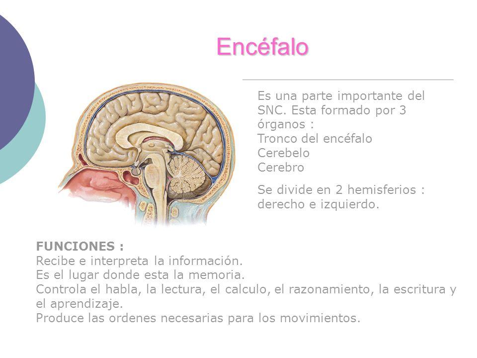 Encéfalo Es una parte importante del SNC. Esta formado por 3 órganos :