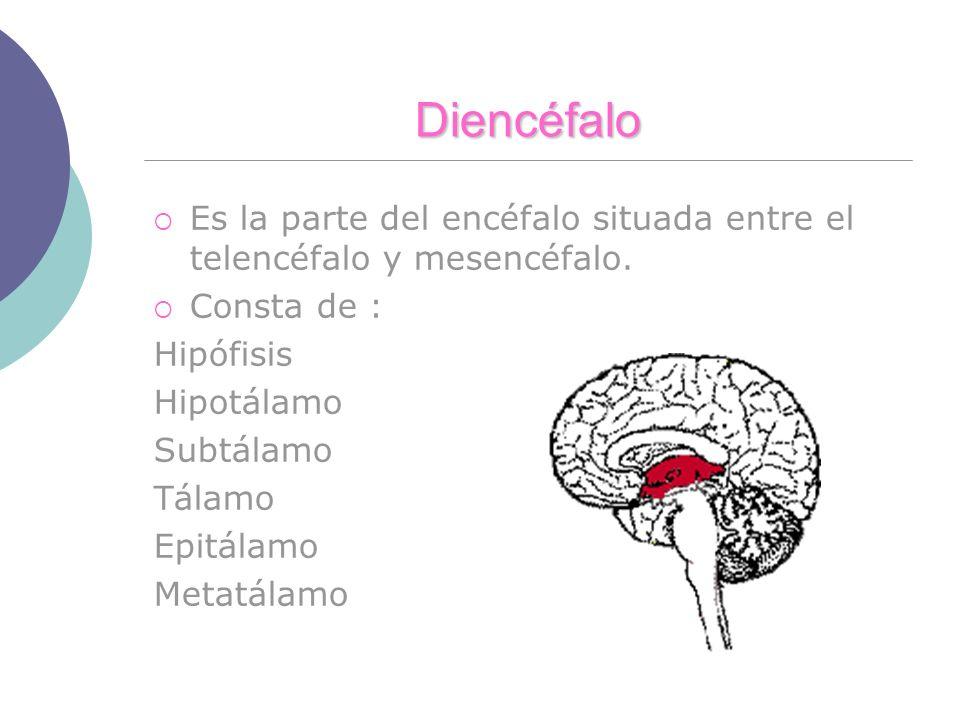 Diencéfalo Es la parte del encéfalo situada entre el telencéfalo y mesencéfalo. Consta de : Hipófisis.