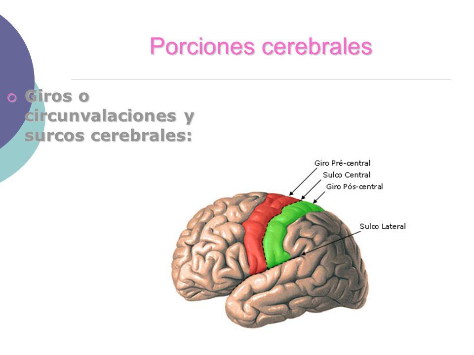 Porciones cerebrales Giros o circunvalaciones y surcos cerebrales: