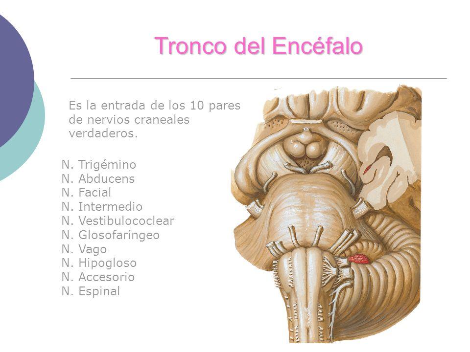 Tronco del Encéfalo Es la entrada de los 10 pares de nervios craneales verdaderos. N. Trigémino. N. Abducens.