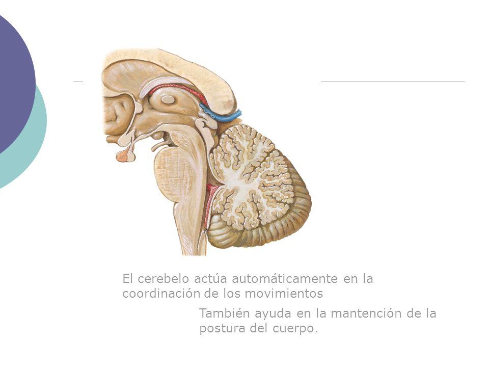 El cerebelo actúa automáticamente en la coordinación de los movimientos