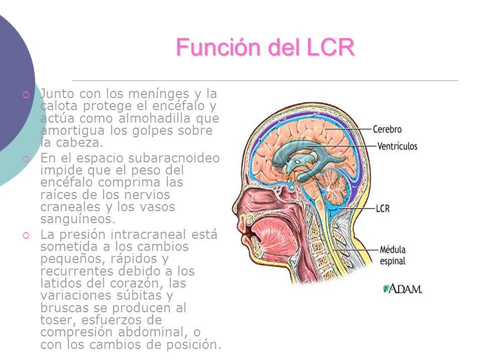 Función del LCR Junto con los menínges y la calota protege el encéfalo y actúa como almohadilla que amortigua los golpes sobre la cabeza.