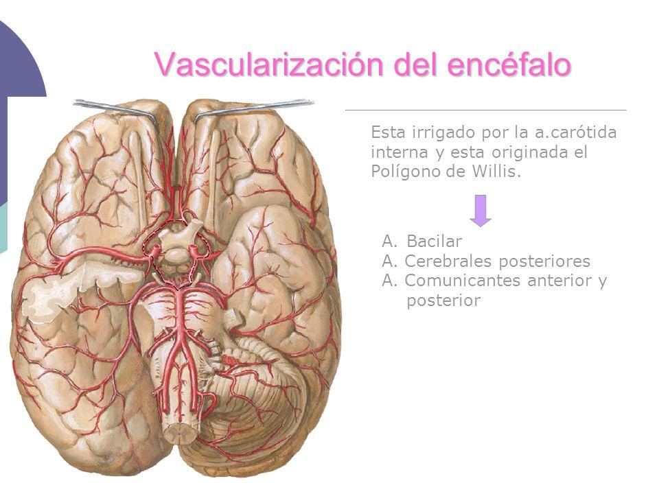 Vascularización del encéfalo