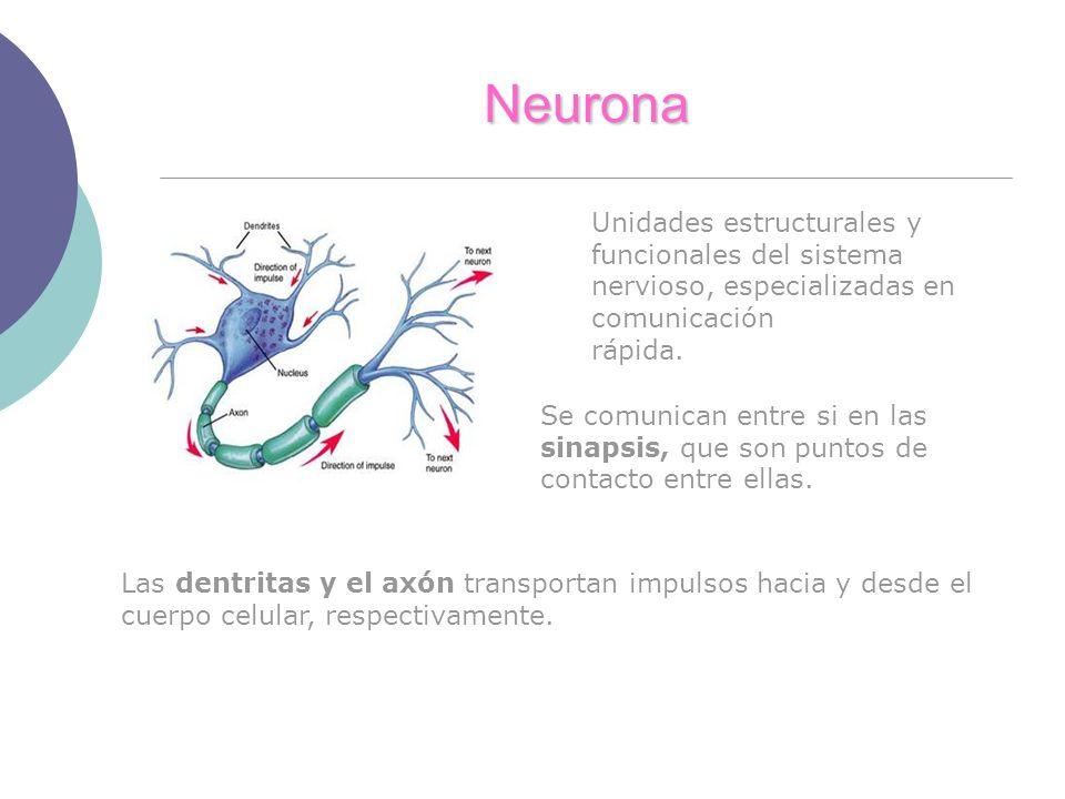Neurona Unidades estructurales y funcionales del sistema