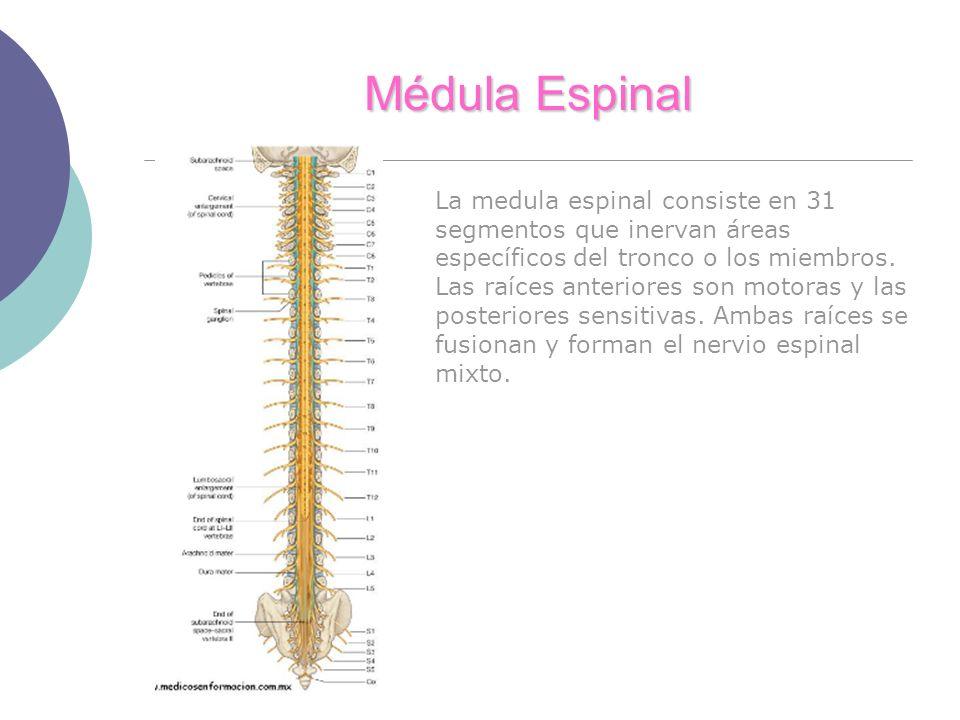 Médula Espinal La medula espinal consiste en 31 segmentos que inervan áreas específicos del tronco o los miembros.