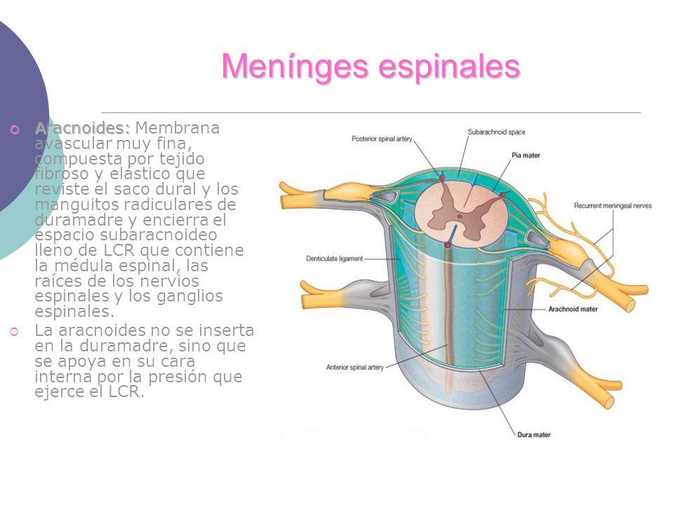 Menínges espinales