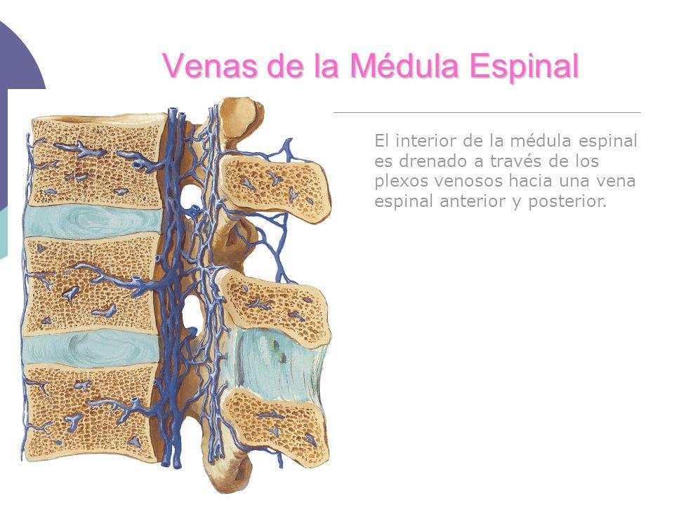 Venas de la Médula Espinal