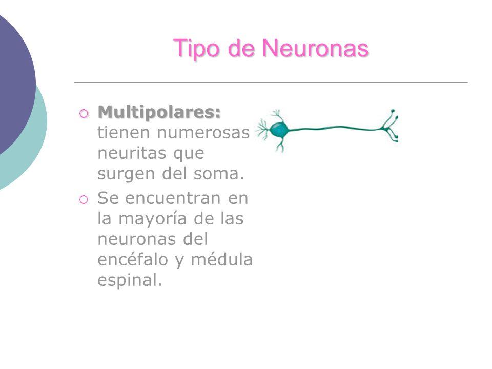 Tipo de Neuronas Multipolares: tienen numerosas neuritas que surgen del soma.