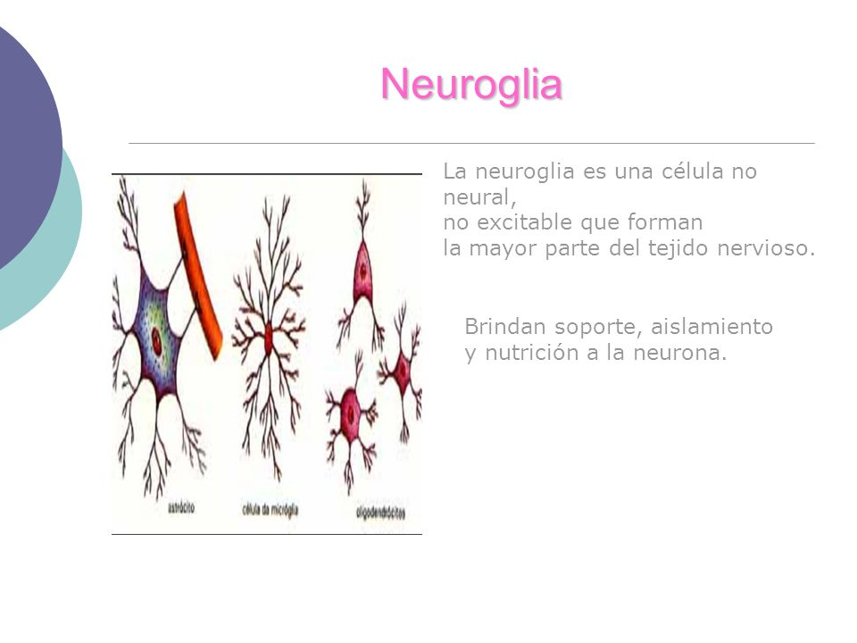 Neuroglia La neuroglia es una célula no neural,