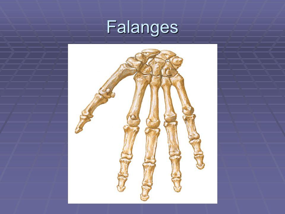 Falanges