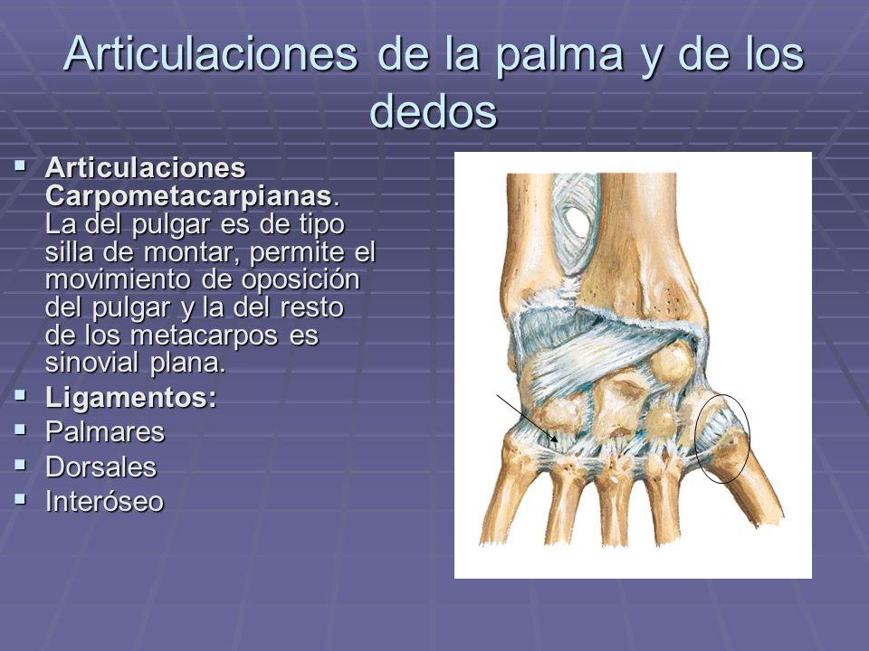 Articulaciones de la palma y de los dedos
