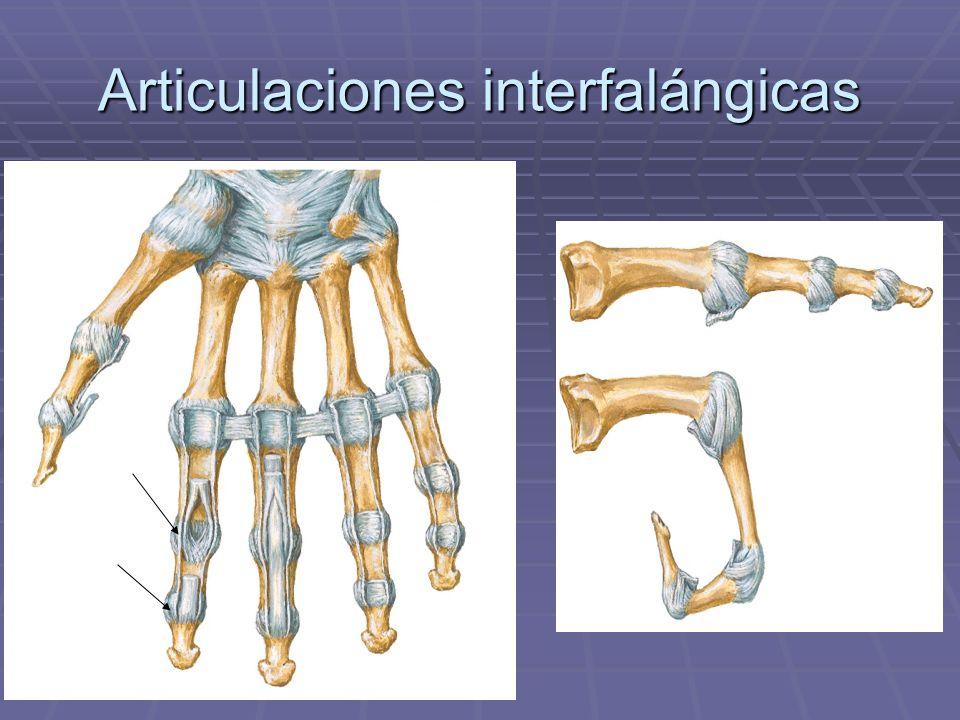 Articulaciones interfalángicas